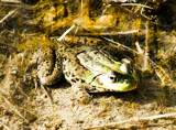 Pond life by utshoo, Photography->Reptiles/amphibians gallery