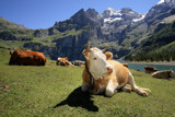 Lazy cows by Paul_Gerritsen, photography->animals gallery