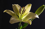 Lovely Lily by jerseygurl, photography->flowers gallery