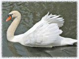 Swan Soft by Terrydel, Photography->Birds gallery