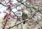 The Female Grosbeak Sitting Pretty by tigger3, photography->birds gallery