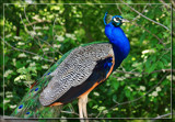 Proud Peacock 2 by Jimbobedsel, Photography->Birds gallery