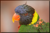 Lorikeet by Jimbobedsel, photography->birds gallery