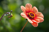 Last Dahlia by Ramad, photography->flowers gallery