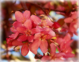 Crabtree Blossoms by trixxie17, photography->flowers gallery