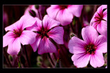pink flowers by JQ, Photography->Flowers gallery