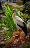 White Stork - Redo by PhilipCampbell, photography->birds gallery