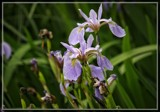 Iris by Jimbobedsel, photography->flowers gallery