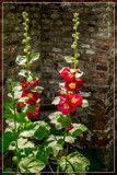 Alley Foofies by corngrowth, photography->flowers gallery