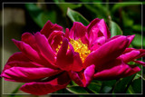Foofy Friday Peony by corngrowth, photography->flowers gallery