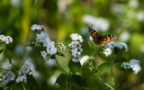 Painted Lady on White by Pistos, photography->butterflies gallery