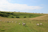 Sheep on the Downs by krt, photography->landscape gallery