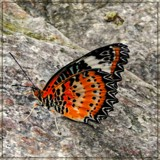 Red Lacewing by trixxie17, photography->butterflies gallery