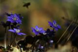 Springflowers by VeraVardig, photography->flowers gallery