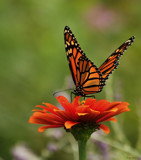 The Monarch Butterfly On Flower by tigger3, photography->butterflies gallery