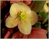 Hellebore 2 by trixxie17, photography->flowers gallery