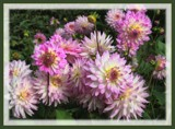 A Frenzy of Dahlias . . . . by LynEve, photography->flowers gallery