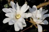 Magnolia by Paul_Gerritsen, Photography->Flowers gallery