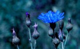 ...the Blue of Evening. by snapshooter87, photography->flowers gallery