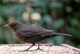 Mrs Blackbird by braces, Photography->Birds gallery