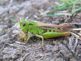 Grasshopper by bliz_dev, Photography->Insects/Spiders gallery