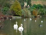 Swans by LANJOCKEY, photography->birds gallery
