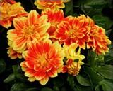 Spritely Dahlias by trixxie17, photography->flowers gallery