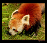 red panda by JQ, Photography->Animals gallery