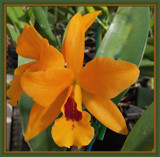 Orange Cattleya Orchid by trixxie17, Photography->Flowers gallery