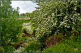 Hawthorns And Cow Parsley 4 by corngrowth, photography->landscape gallery