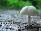 Tiny mushroom by miran, Photography->Mushrooms gallery