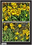 Spring Daffs by Dunstickin, photography->flowers gallery