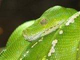 Green with envy by shromoff, Photography->Reptiles/amphibians gallery