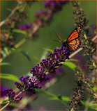 Butterflies Are Free_seventh posting by tigger3, photography->butterflies gallery