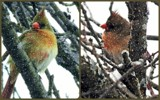 Lady Cardinal Collage by trixxie17, photography->birds gallery