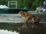 Toad Reflection by suitsandshoes, Photography->Animals gallery