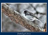 Junco by gerryp, Photography->Birds gallery