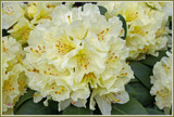 Creamy Dreamy Rhododendron by jerseygurl, photography->flowers gallery