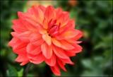 In The Dahlia Garden #3 Taratahi Ruby by LynEve, photography->flowers gallery