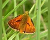 Aye! Aye! Skipper by od0man, Photography->Butterflies gallery