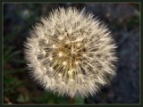 DandeLionHeart by LynEve, Photography->Flowers gallery