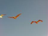 Acidic Flightline by fishmoe, Photography->Birds gallery