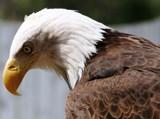 Bald Eagle by dastpost, Photography->Birds gallery