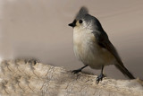 Titmouse 3 by mike100, Photography->Birds gallery