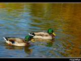 Ducks by MiLo_Anderson, photography->birds gallery