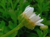 Daisy Season by mimi, Photography->Macro gallery