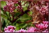 A Garden Ornamental by tigger3, photography->butterflies gallery