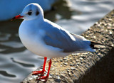 Gull 6 by braces, Photography->Birds gallery