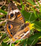 Buckeye Butterfly by Pistos, photography->butterflies gallery