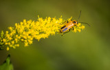 Nebraska's State Flower by Pistos, photography->insects/spiders gallery